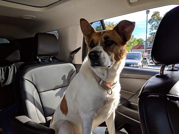 Dog sititng in Car